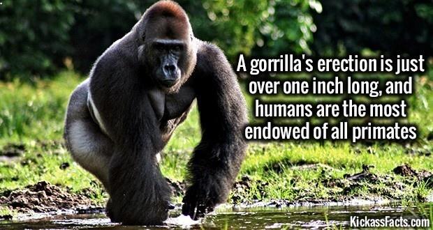 Gorilla pussy pictures 4