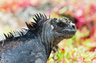 Iguana disappointment